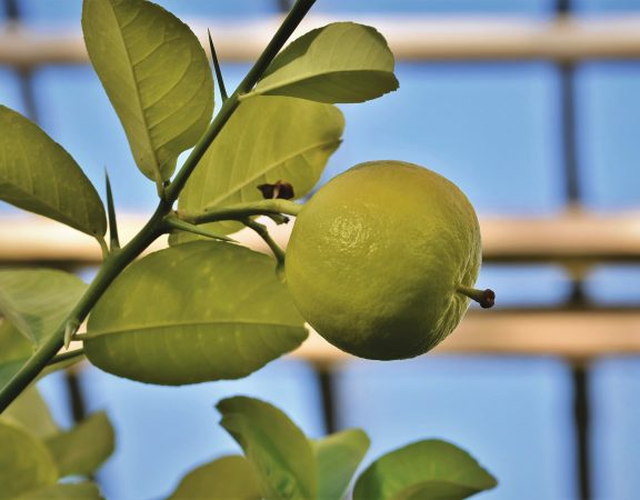ingrijire pomi fructiferi