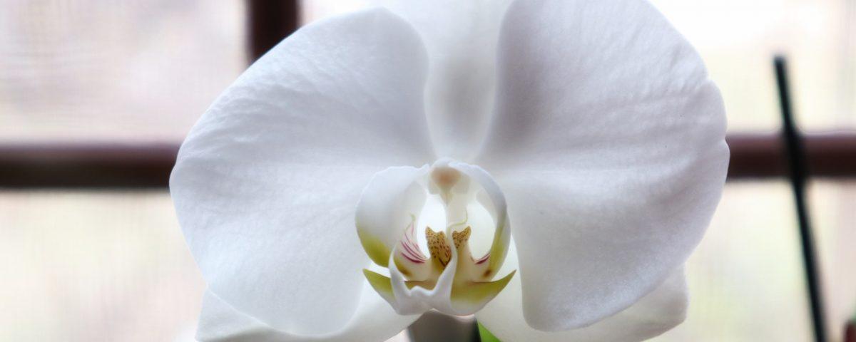 lumina orhidee